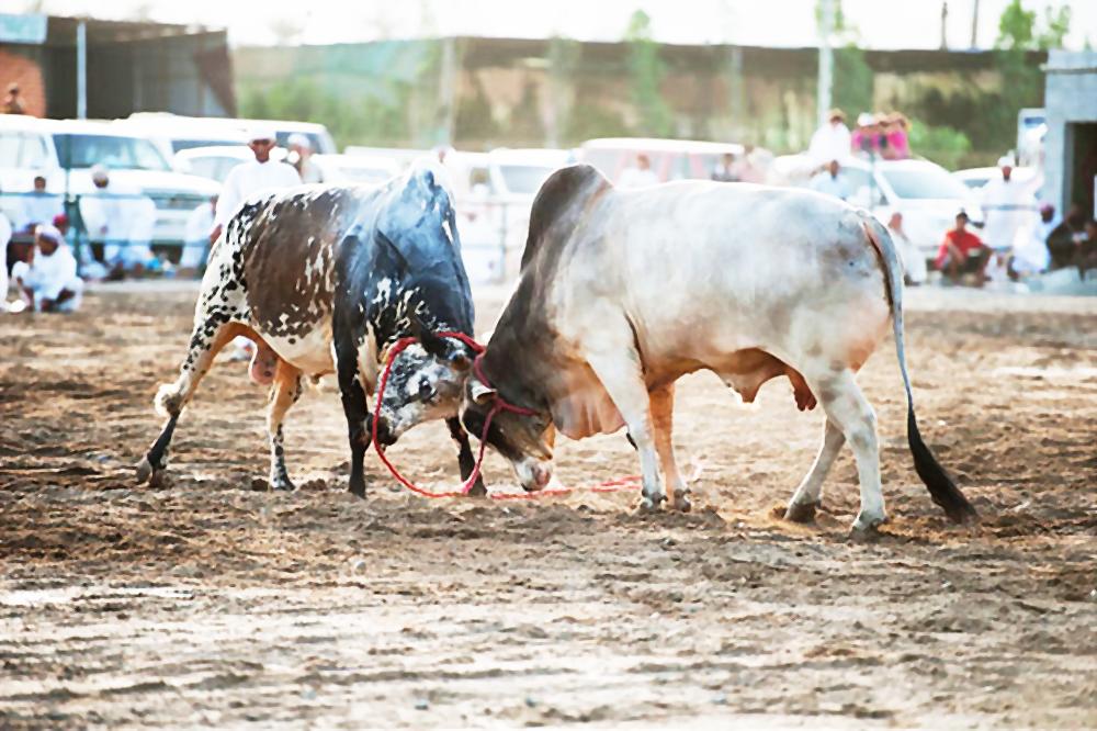 Bull Butting Fujairah